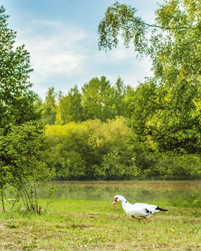 Are Muscovy ducks the perfect pet? Meet the big duck with no quack