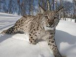 Lynx could be reintroduced to Scotland for the first time in 500 YEARS to manage deer populations