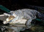 Britain's only crocodile zoo is home to 150 of the creatures - and visitors can even feed them