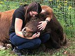 B&B Mountain Horse Farm in New York state offers 'cow cuddling' therapy