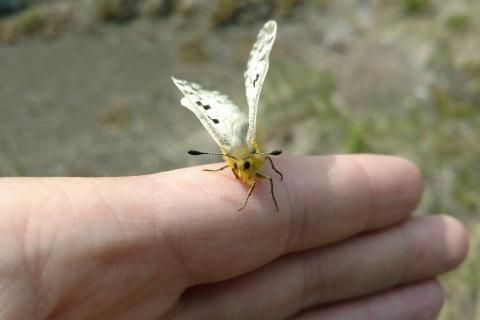 New research shows how climate change could affect alpine butterflies