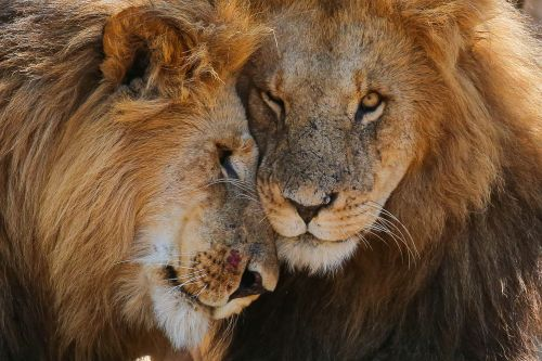 Lion kings: 13 stunning photos of Kenya's magnificent wildlife