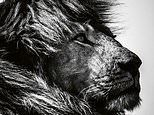 Stunning black-and-white pictures in new teNeues book by Laurent Baheux of lions in Africa
