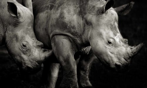 Photo Gallery: 11 captivating photos from the Remembering Rhinos project