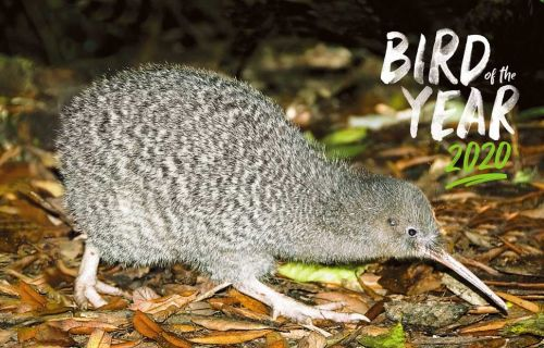 10+ Reasons to vote for Little Spotted Kiwi in Bird of the Year