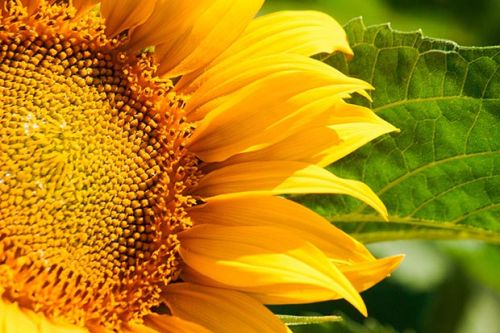 How to grow sunflowers in New Zealand