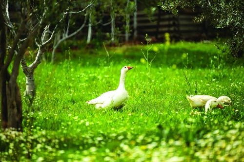 Nadene Hall discovers peace was never an option with her geese