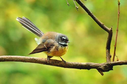 Could native birds control pests in orchards?