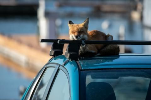Foxes are self-domesticating in the U.K, so why not Canada?