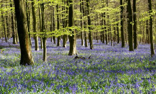 The UK's best bluebell woods to visit this spring